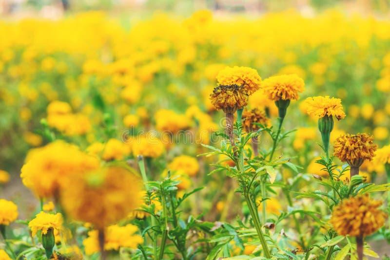Belleza natural de la flor amarilla de la maravilla imagen de archivo libre de regalías