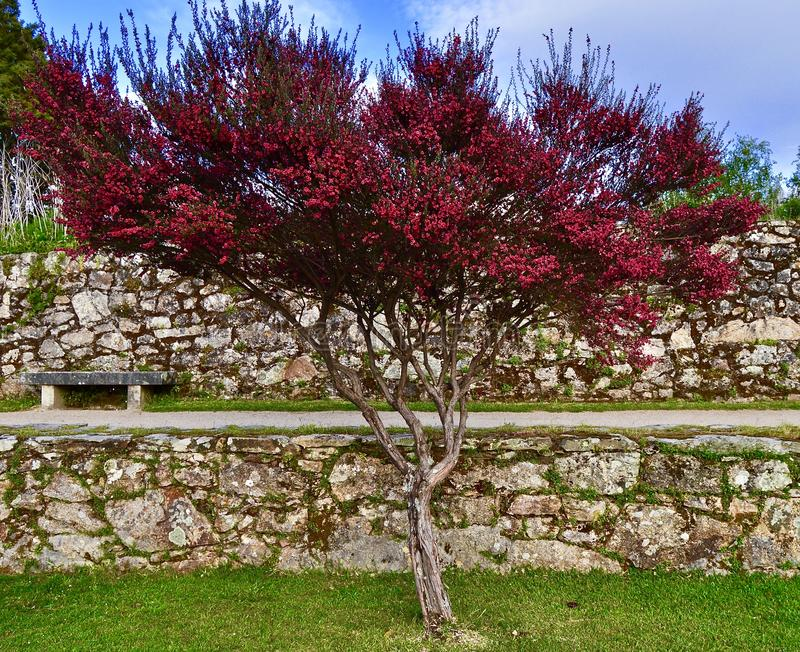 Belleza natural de un árbol rosado imagenes de archivo