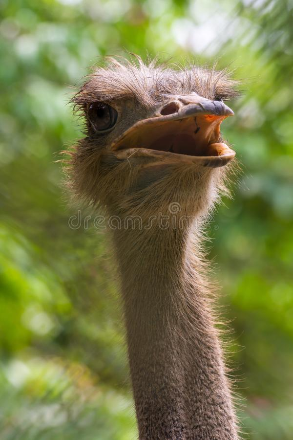 Belleza necked larga: Esta avestruz mostraba apagado su plumoso fotos de archivo libres de regalías