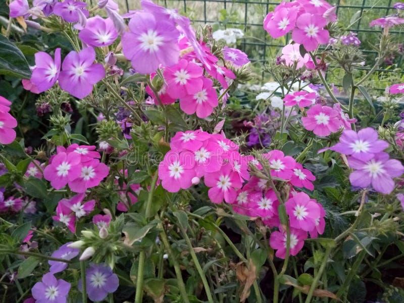 Belleza rosada de la naturaleza de la historia de las flores fotografía de archivo libre de regalías