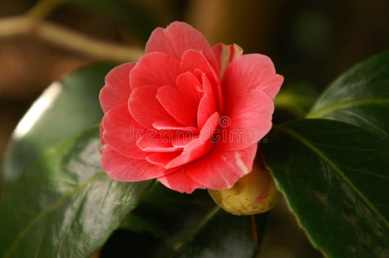 Belleza rosada de la naturaleza de la flor del flor imagen de archivo libre de regalías