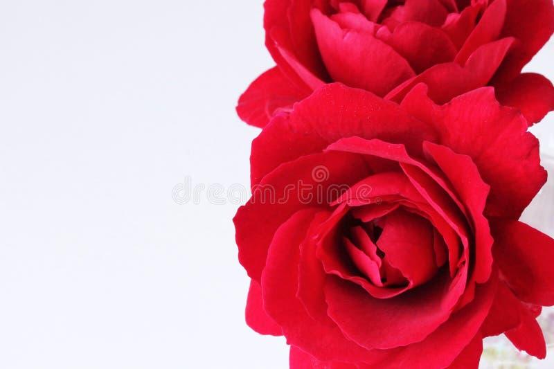 Belleza sin fin - rosas rojas para usted - cerca para arriba en blanco fotos de archivo libres de regalías