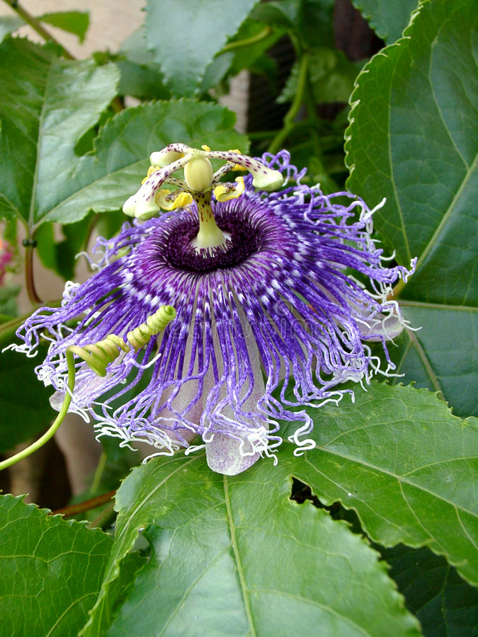 Belleza violeta imagen de archivo