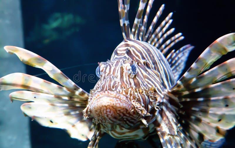 Belleza y pescados venenosos del león imagen de archivo