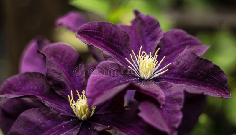 Bellezas púrpuras fotos de archivo