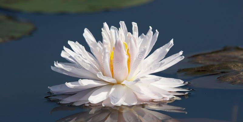 Bellezza bianca immagini stock libere da diritti