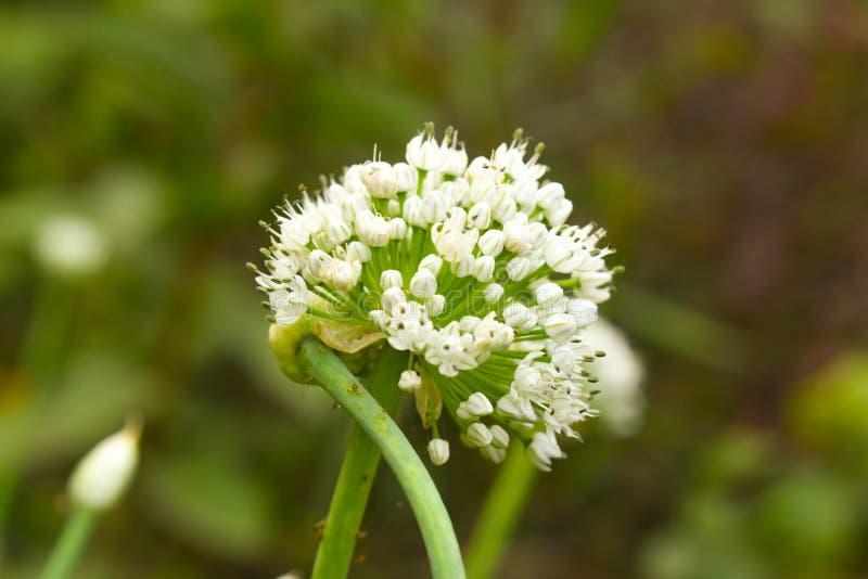 Bellezza bianca della pianta di colore del fiore di finocchio fotografia stock
