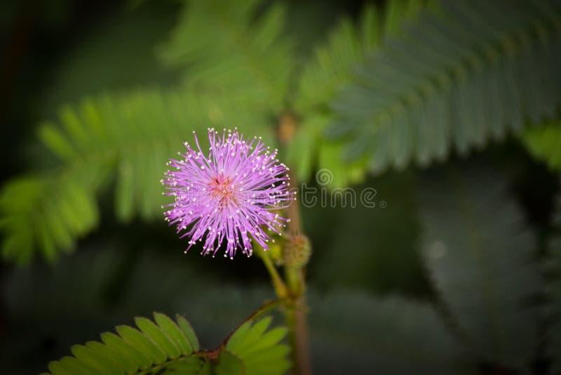 Bellezza del fiore rosa variopinto della palla fotografia stock