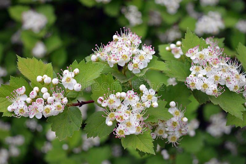 Bellezza dell'albero del cratego del fiore del giardino della primavera fotografie stock libere da diritti