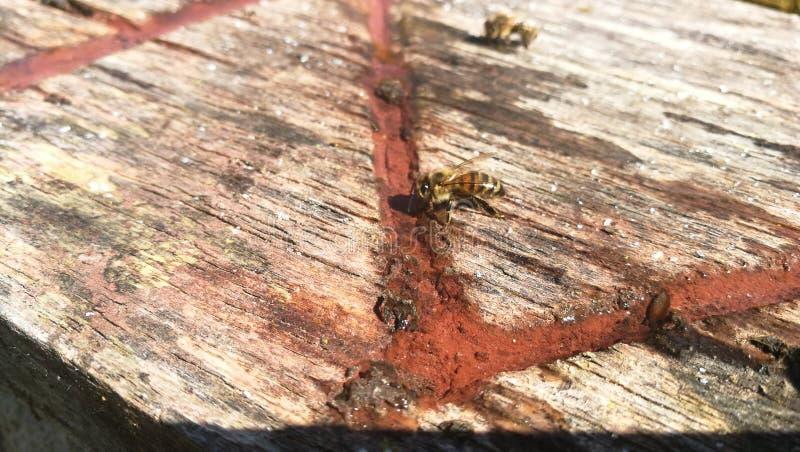 Bellezza dell'ape immagine stock