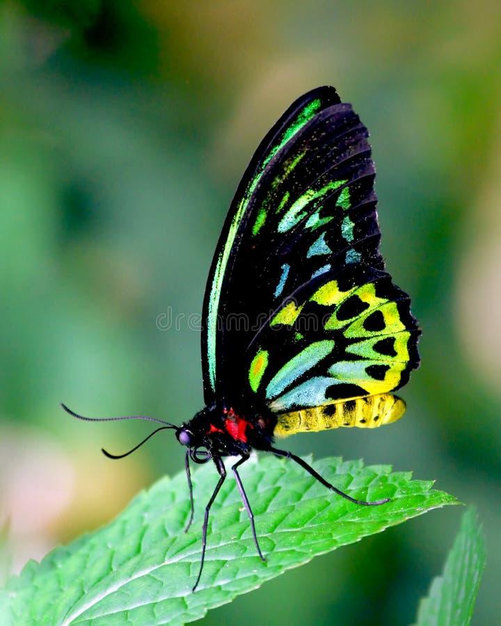 Bellezza della farfalla fotografie stock