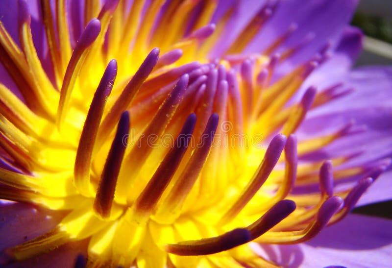 Bellezza di loto fotografie stock libere da diritti