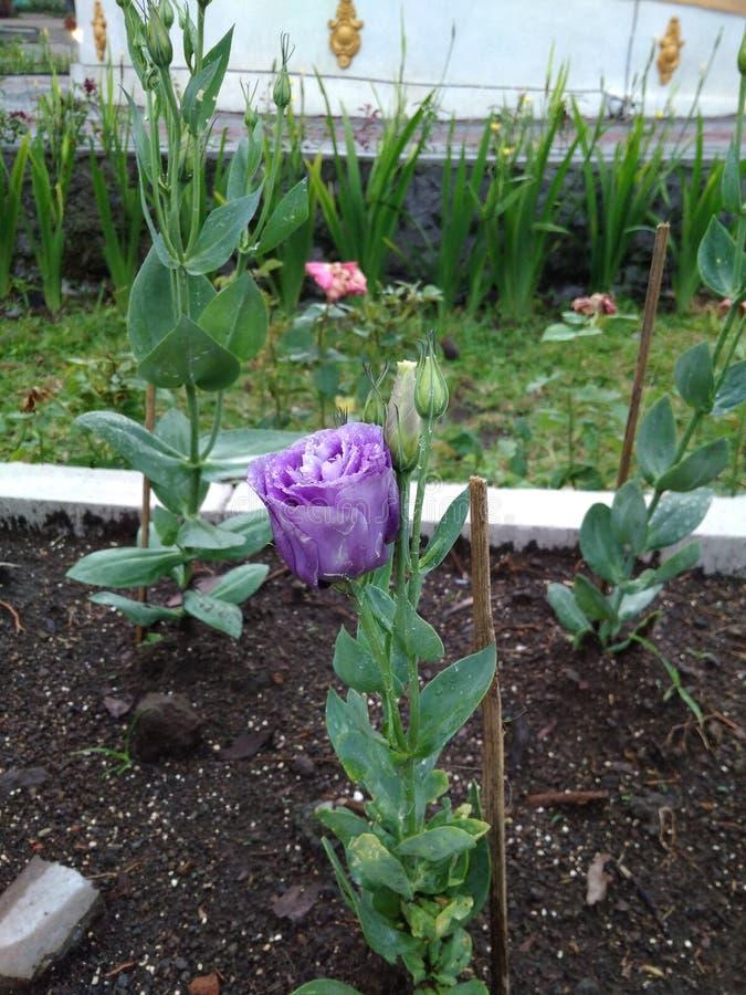 Bellezza di Rose Flowers porpora in giardino botanico immagine stock libera da diritti