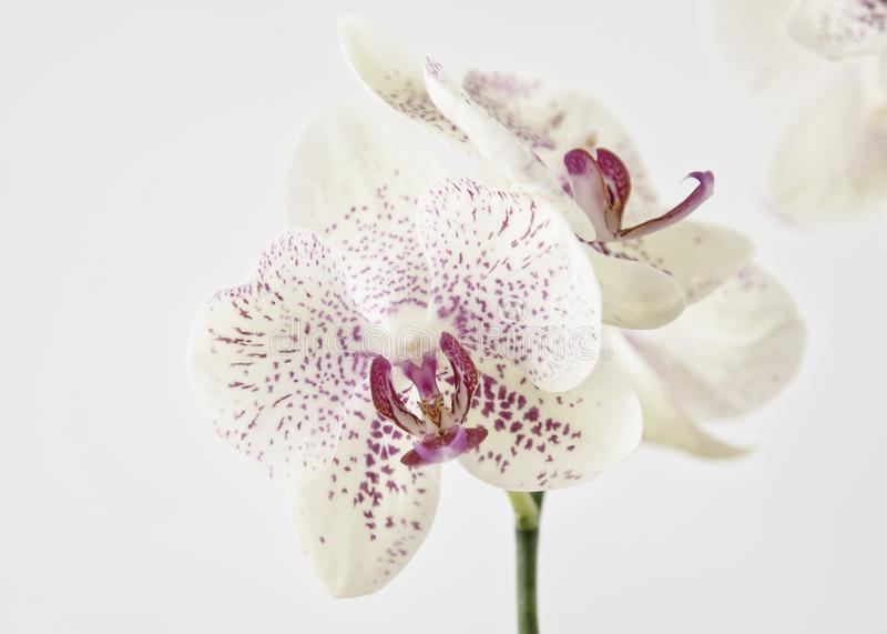 Bellezza esotica dell'orchidea nell'alta chiave immagine stock libera da diritti