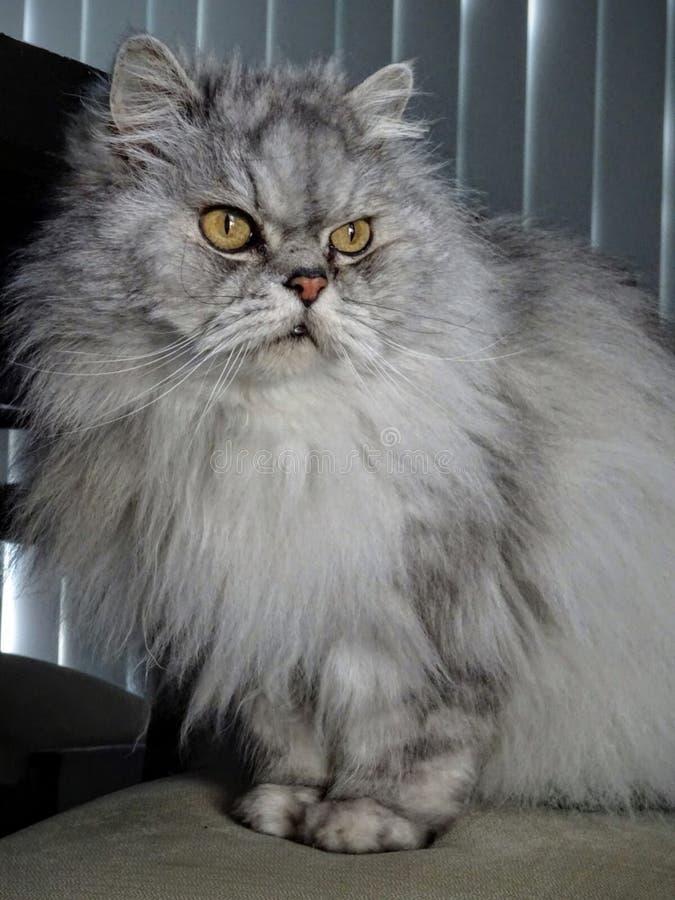 Bellezza felina fotografia stock libera da diritti