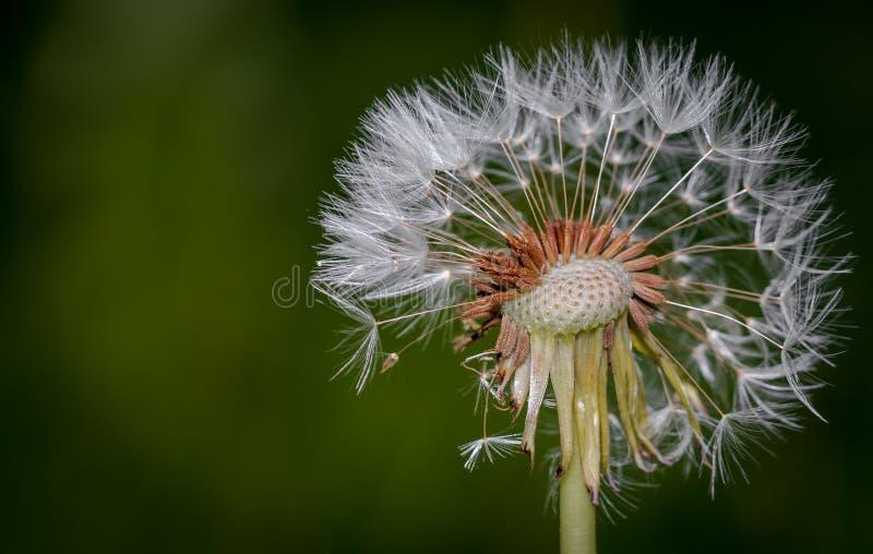 Bellezza fragile bianca nel vento fotografia stock