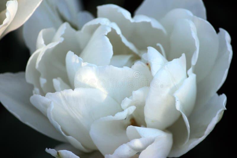 Bellezza i tulipani bianchi di fioritura in primavera immagine stock libera da diritti