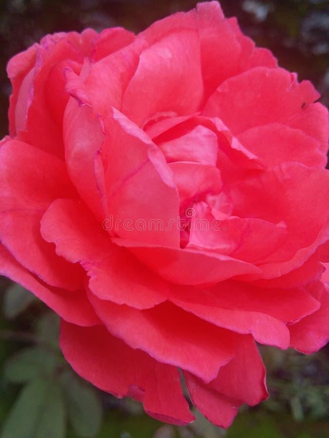 Bellezza naturale della rosa fotografie stock