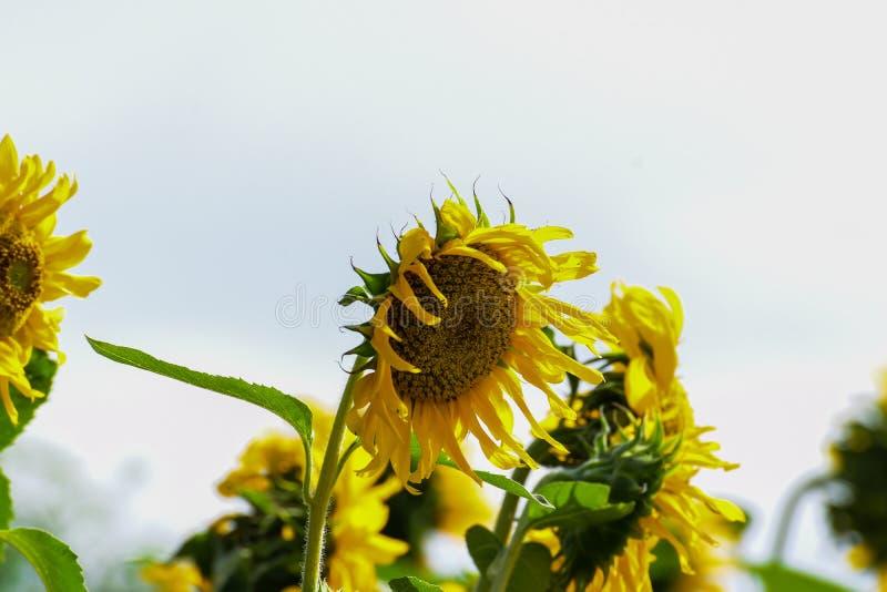Bellezza naturale, girasole nel giardino, mazzo giallo del fiore, piantante gli animali, fuoco scelto ed offuscare i precedenti immagine stock libera da diritti