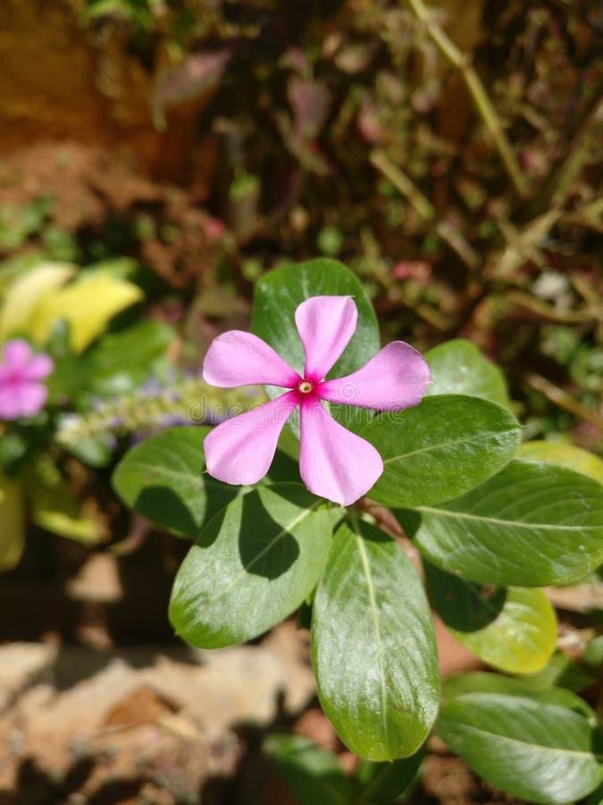 Bellezza rosa immagine stock