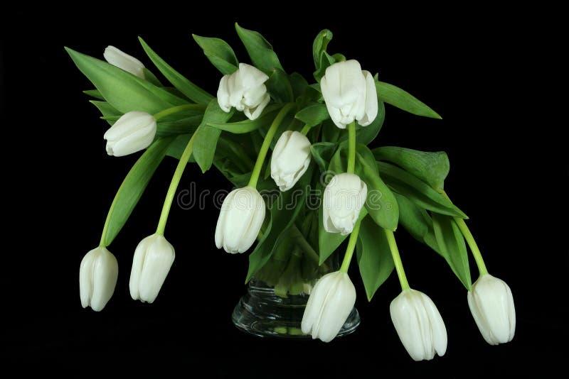 Bellezze bianche del tulipano fotografia stock libera da diritti