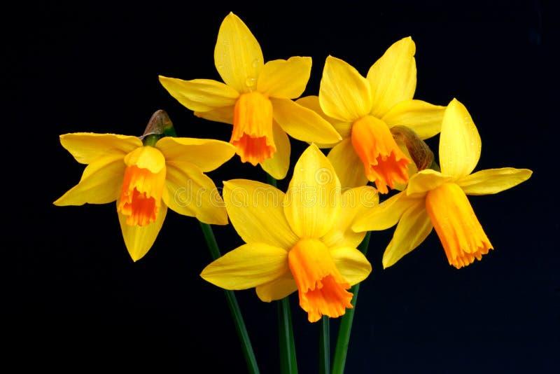 Bellezze Del Narciso Immagine Stock