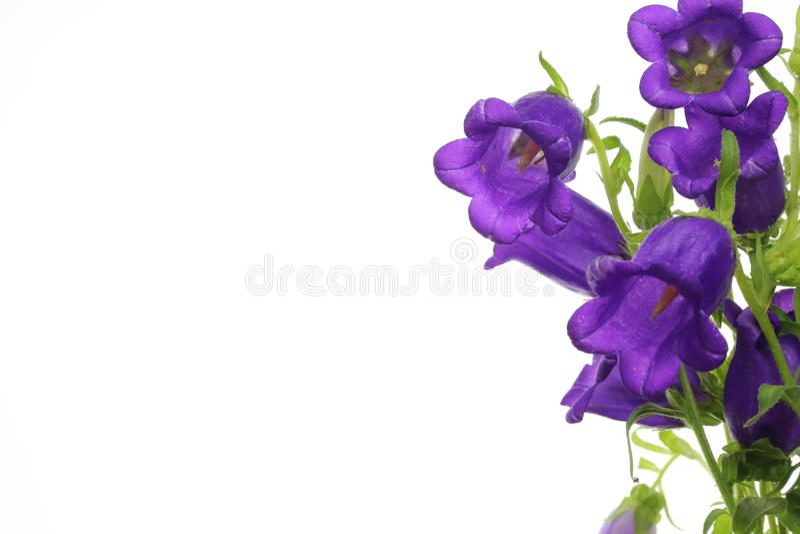 bellflower royalty-vrije stock foto