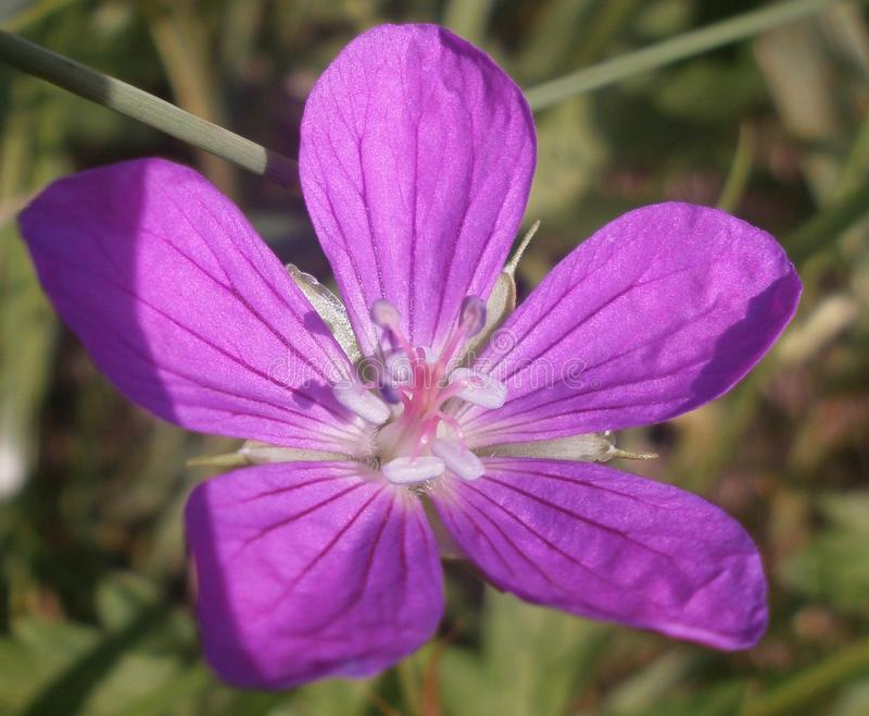 bellflower fotos de stock