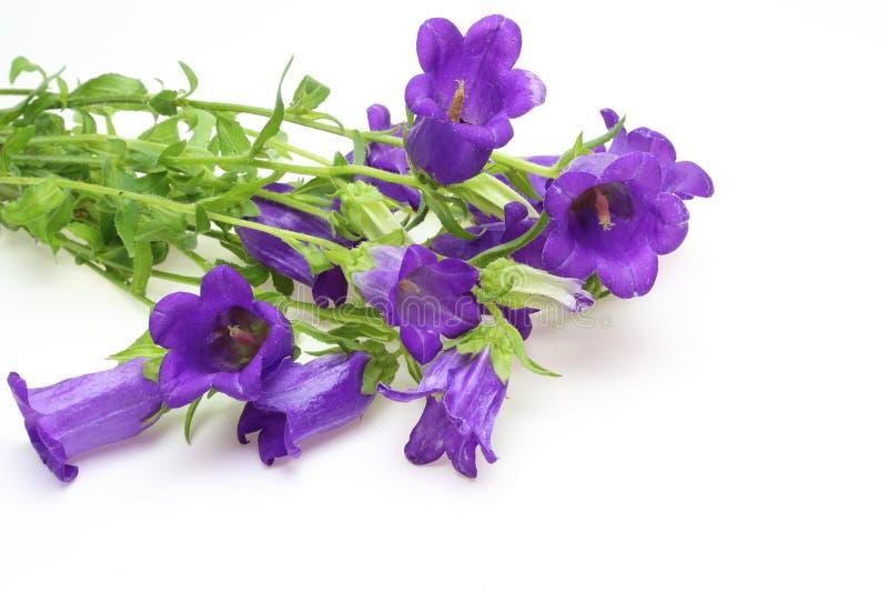 bellflower stock afbeeldingen