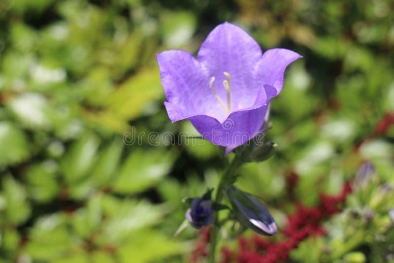 bellflower stock afbeelding