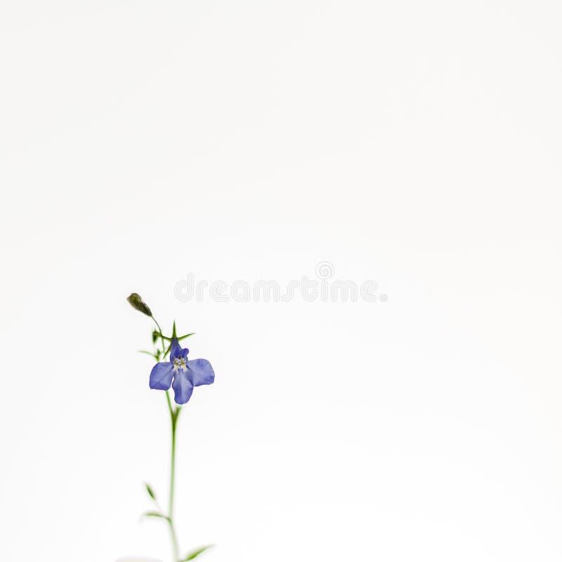 Bellflower apacible azul en el fondo blanco Imagen artística suave, airosa, elegante fotos de archivo