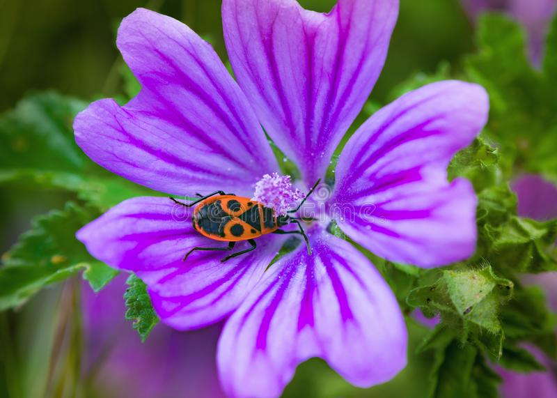 Bellflower blossom with firebug insect stock photography