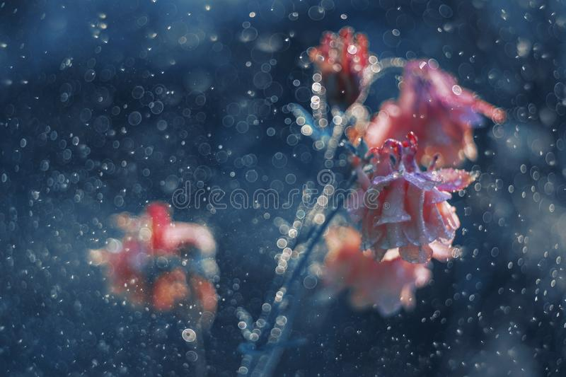 Bellflower in blue rain royalty free stock images
