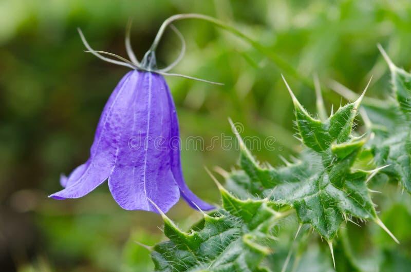 Bellflower carpatico del fiore fotografie stock