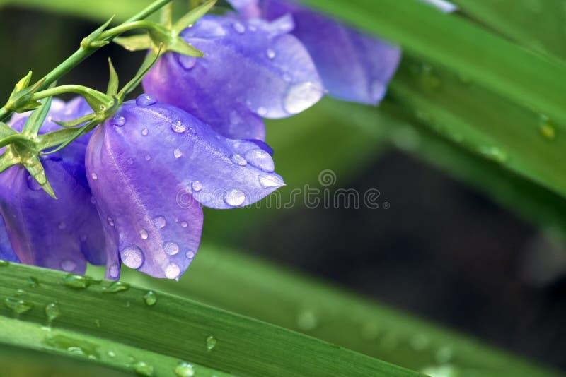 Bellflower coberto com as gotas do orvalho da manhã fotos de stock royalty free