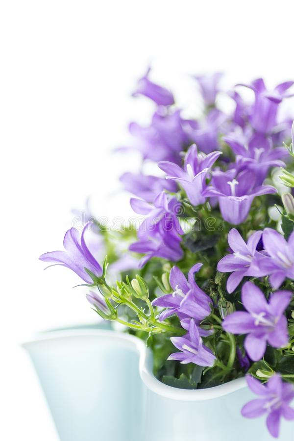 Bellflower dálmata aislado en el fondo blanco El cultivar un huerto y concepto de la flor imagenes de archivo