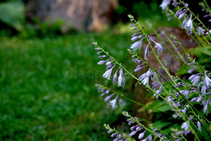 Bellflower, flores, irrigação de camas de flor foto de stock royalty free