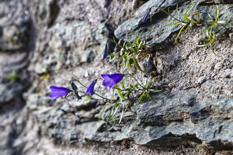 Bellflower onder de bergrotsen stock foto