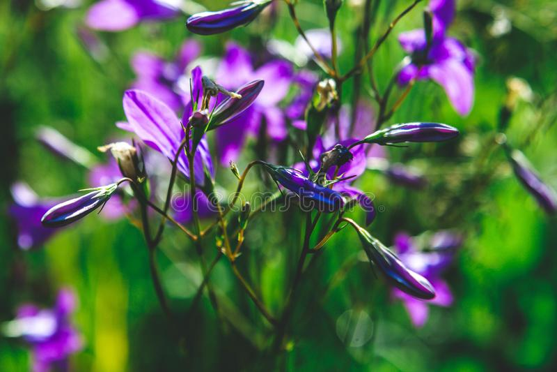 Bellflowers fotografia stock libera da diritti