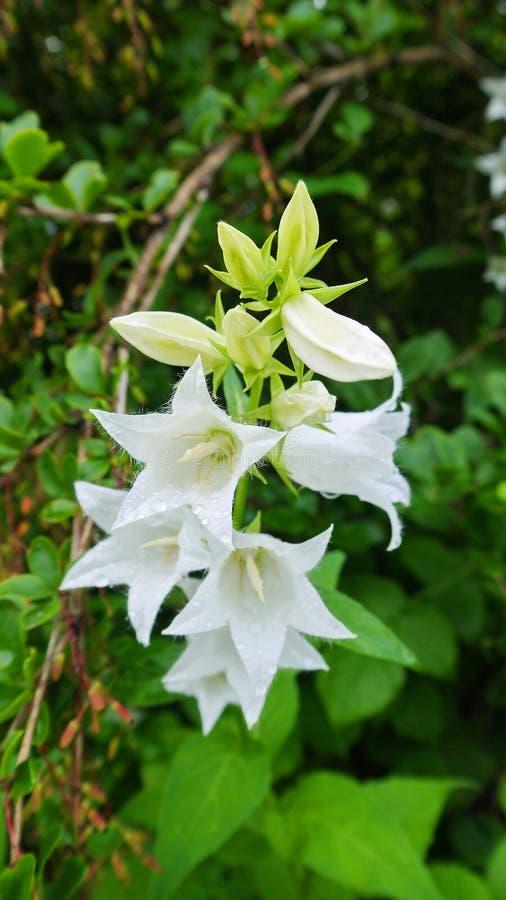 Bellflowers bianchi fotografia stock
