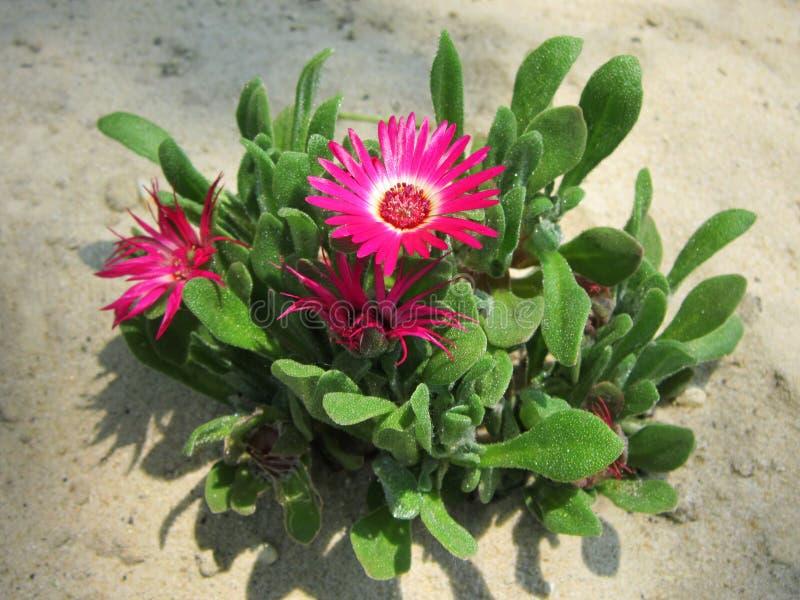 Bellidiformis Dorotheanthus Μαργαρίτα Livingstone Όμορφες εγκαταστάσεις πάγου με τα φωτεινά ρόδινα λουλούδια στοκ φωτογραφία με δικαίωμα ελεύθερης χρήσης