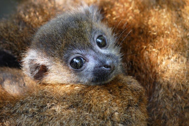 bellied красный цвет lemur стоковое изображение rf