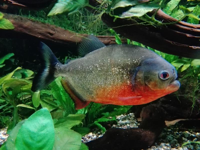 bellied красный цвет piranha стоковые фото
