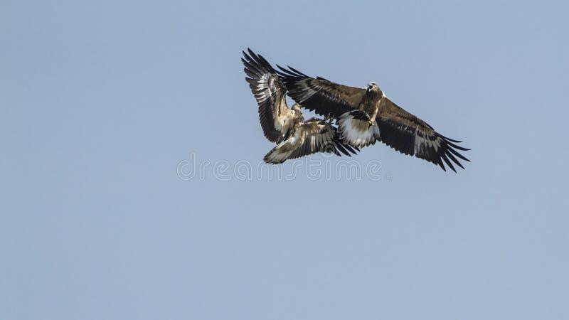 Bellied dennego orła bój w Arugam zatoce, Sri Lanka obrazy stock