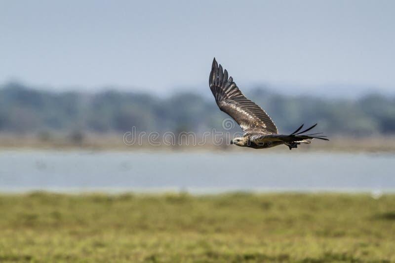 Bellied denny orzeł w Arugam zatoki lagunie, Sri Lanka zdjęcia royalty free