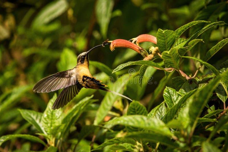 Bellied eremita unosi się obok czerwonego kwiatu, tropikalny tropikalny las deszczowy, Kolumbia, ptak ssa nektar od okwitnięcia w obrazy stock