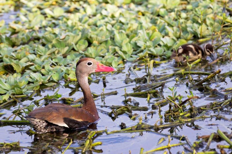 Bellied gwizdanie kaczka z dzieci kaczątkami obrazy stock