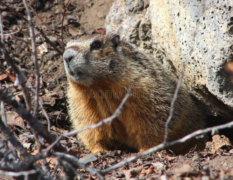 bellied marmot rockchuck yellow στοκ φωτογραφία