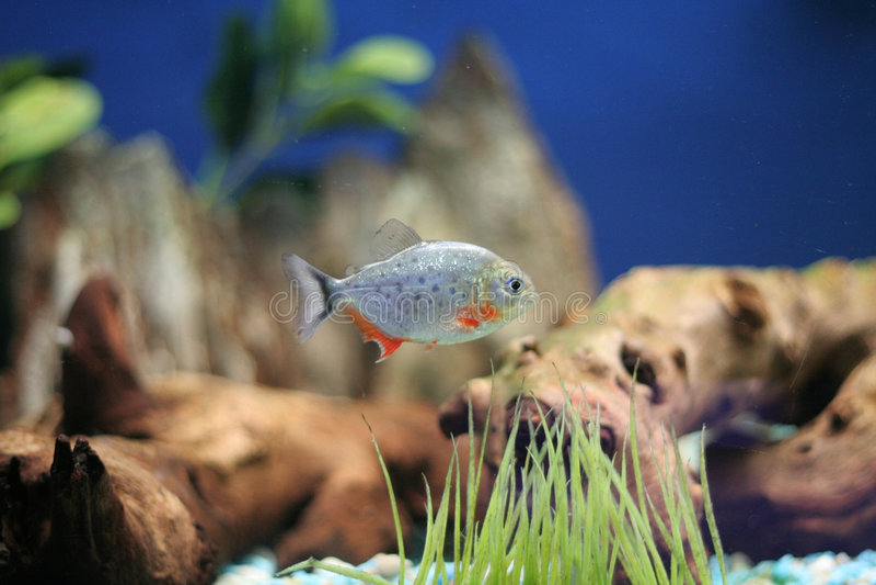 bellied piranha стоковое изображение