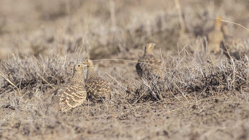 Bellied Sandgrouses pole bramkowe fotografia stock